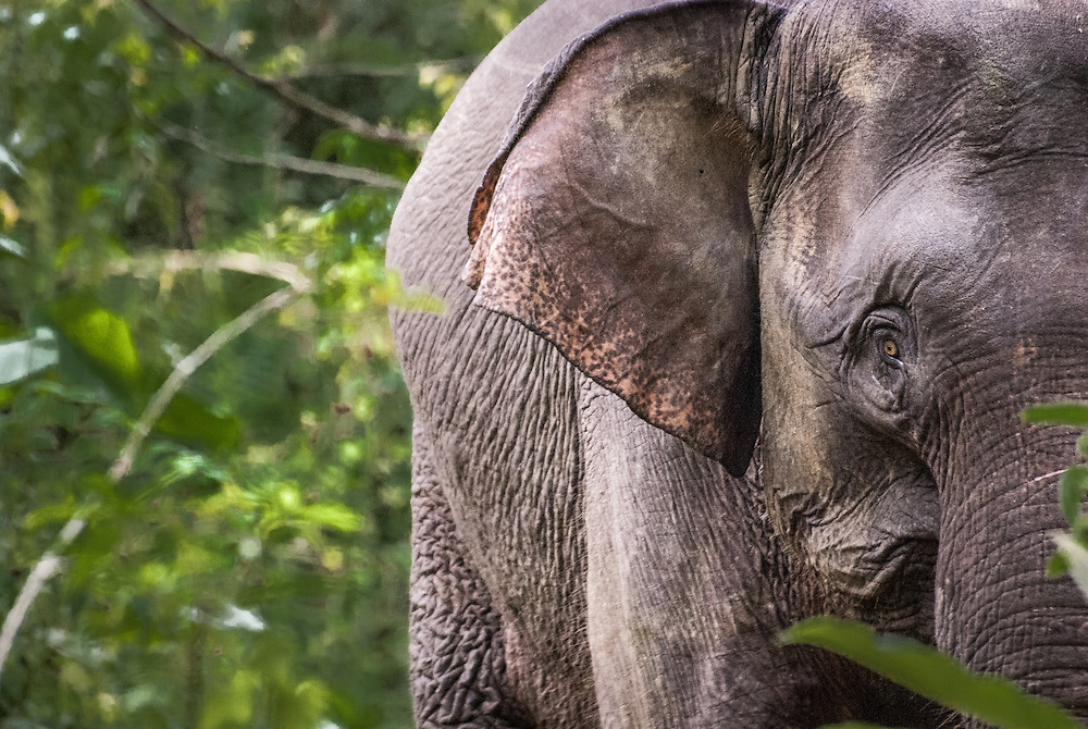 Face to face with a pygmy elephant in Kinabatangan Wildlife Sanctuary in the Malaysian province of Sabah on the island of Borneo. <br /> <br /> --