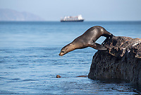 California Sea Lion jumping into the ocean with the National Geographic Sea Bird in the background at Isla Rasa in Baja California Sur, Mexico.
