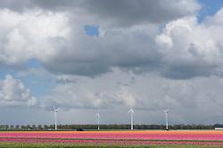 Flower bulb fields, bollenvelden, Zeewolde, Flevoland, Netherlands