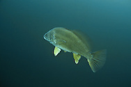 Freshwater Drum<br />