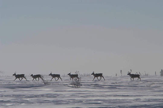 Barren Ground Caribou trotting across the tundra in Wapusk National Park, February with a temperature at -46F, near Hudson Bay, Manitoba.