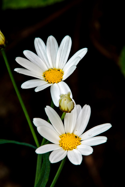 Oxeye daisy, a clear sign of spring.