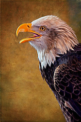 A Bald Eagle Profile With A Bit Of Fine Art Processing