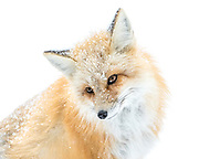 A Fox posing in the snow in Montana.