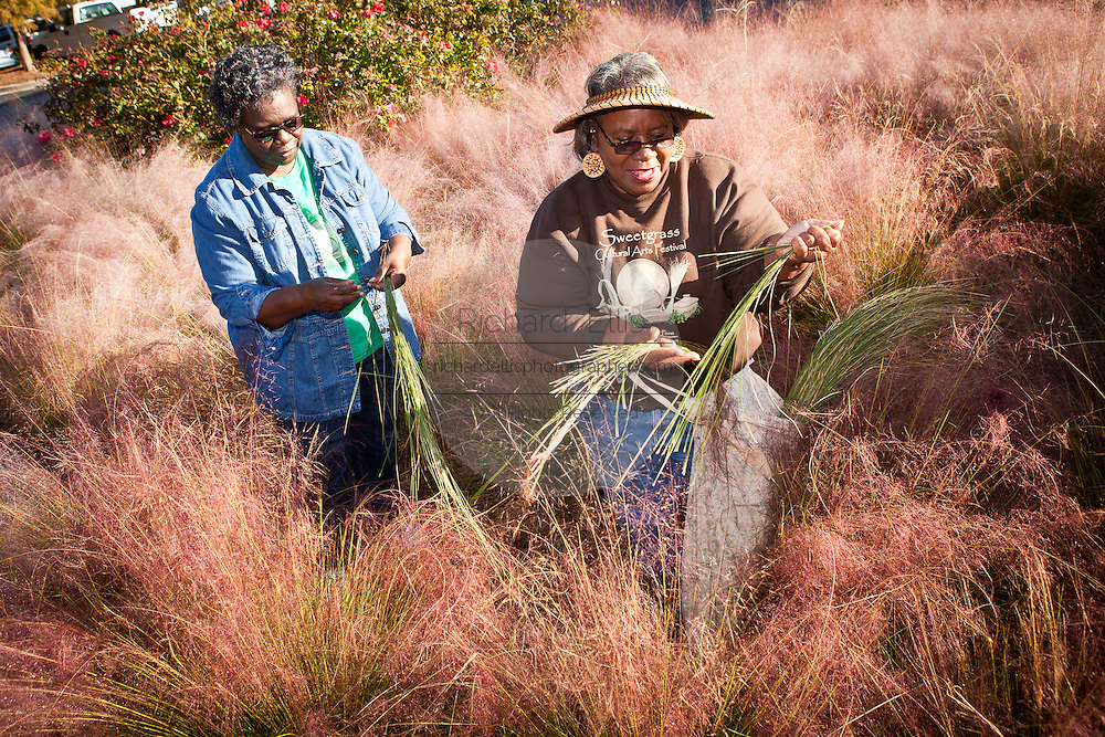 Sweetgrass basket makers pull sweetgrass during harvest October 26, 2011 in Mt Pleasant, SC.