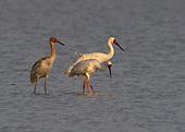 Siberian Cranes, Leucogeranus leucogeranus