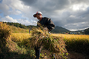 Man standing in front of a rice field and working on the harvest at the Gangwon-do province a few kilometers from the Demilitarised Zone (DMZ) which is deviding North and South Korea.