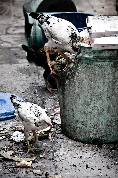 chickens feeding in Stonetown, Zanzibar