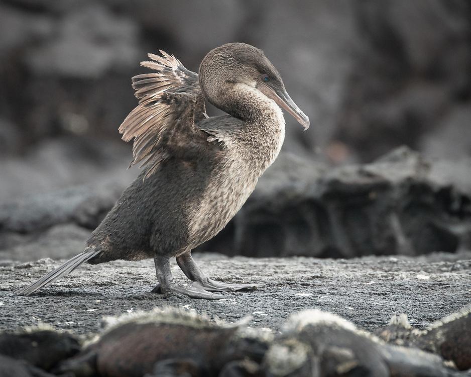 Phalacrocorax harrisi, Fernandina Island, Galapagos, Ecuador