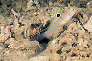 Randall's shrimp goby, Amblyeleotris randalli, and blind shrimp, Alpheus sp., shrimp keeps antennae on goby to monitor movements, shrimp and goby,  have a symbiotic relationship, the goby acts as watchdog for shrimp, which constructs burrow used by both, the shrimp is nearly blind, Kimbe Bay, Papua New Guinea ( Bismarck Sea )