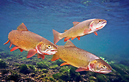 Snake River Fine Spotted Cutthroat Trout<br />