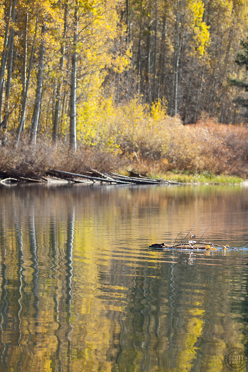 """Beaver at Marlette Lake 1"" - This busy beaver was photographed moving a piece of aspen at Marlette Lake, Nevada."