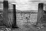 Vicuñas cautiously observe what is happenning at the other side of the fence.