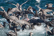 Giant petrels attack a seal carcass that was recently killed by a Killer whale off the coast of Isla de los Estados, Argentina.