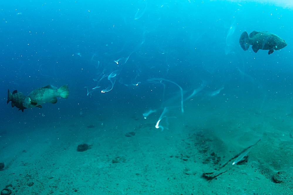Male Goliath Grouper, Epinephelus itajara, releases sperm during the full moon August 16, 2014 offshore Singer Island, Florida, United States