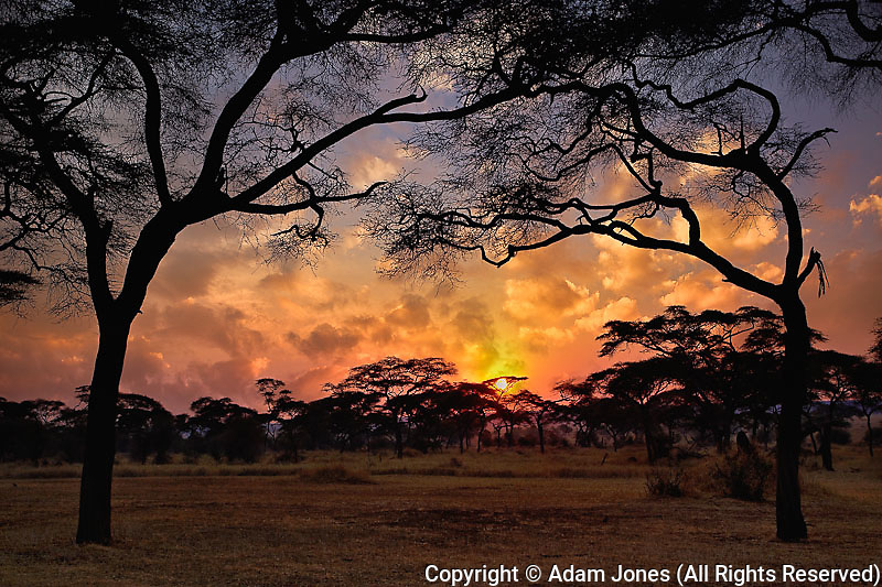Acacia forest silhouetted at sunset, Tarangire National Park, Tanzania, Africa