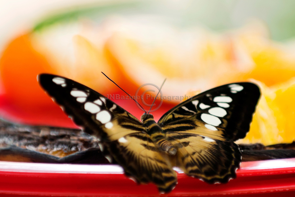 A clipper butterfly prepares to feed on rotting fruit in a red bowl