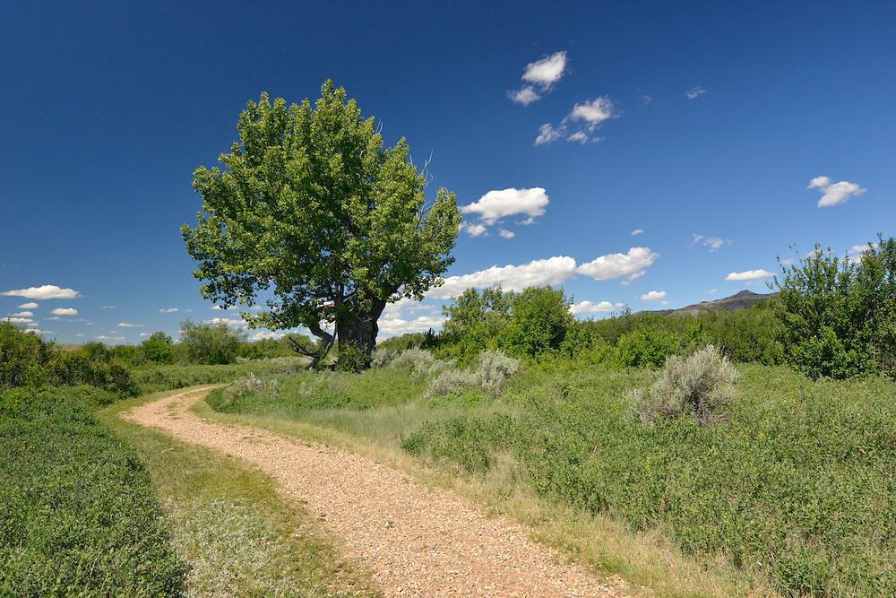 Cottonwood Tree - Populus freemontii - The Badlands, Dinosaur Provincial Park, Alberta, Canada