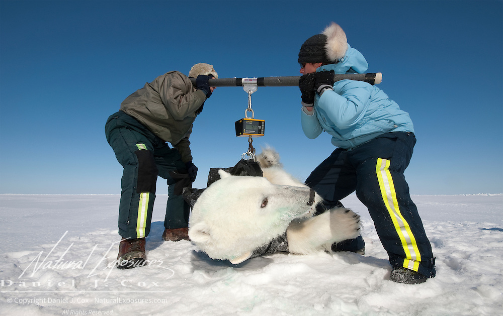 USGS biologist Dr. Steve Amstrup and assistant Karyn Rode attempt to lift a small 365 pound female polar bear on the Beaufort Sea ice pack.
