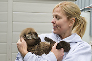 Sea Otter<br /> Enhydra lutris<br /> Julie McCarthy, Animal Care Specialist, with three-week-old orphaned pup in rescue<br /> Alaska Sea Life Center, Seward, Alaska<br /> *Model release available