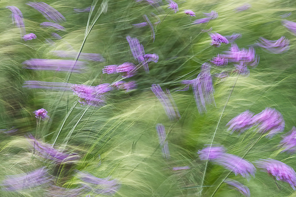 Every time I walk past these Verbena at RHS Hyde Hall I find myself mesmerised by their hypnotic sway in the tall grasses.