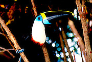 ECUADOR, ORIENTE, AMAZON RIVER BASIN Napo River (Amazon tributary) down river from Coca at La Selva Jungle Lodge; toucan in rainforest
