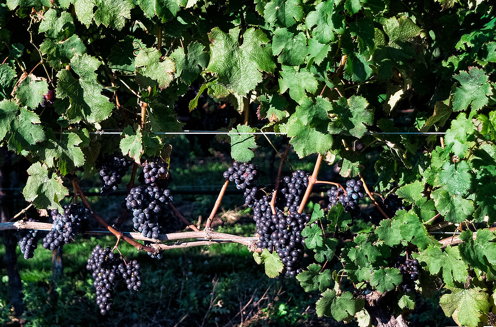 Grapes growing in a vineyard, Cape Cod, Massachusetts, USA