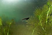 Common European toad (Bufo bufo) Tadpole. Selent, Germany | Kaulquappen der Erkröten (Bufo bufo) freischwimmend in einem Gewässer immer auf der Suche nach der nächsten Pflanze zum abweiden. Selent, Deutschland