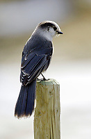 Gray Jay (Perisoreu candensis) perched on fence post, Kananaskis Country, Alberta, Canada   Photo: Peter Llewellyn