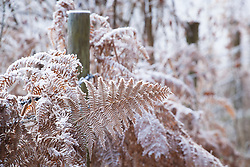 Hoar frost on bracken by a fence. Pteridium aquilinum