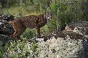 Iberian Lynx (Lynx pardinus) female<br /> Sierra de And&uacute;jar Natural Park, Mediterranean woodland of Sierra Morena, north east Ja&eacute;n Province, Andalusia. SPAIN<br /> RANGE: Iberian Penninsula of Spain &amp; Portugal.<br /> CITES 1, CRITICAL - DANGER OF EXTINCTION<br /> Fewer than 200 animals in the wild. There is a reduced genetic variability due to their small population. They have suffered due to hunting, habitat loss and road accidents, but the most critical threat today is the reduced numbers of wild Rabbits (Oryctolagus cuniculus) within the lynx's range. The rabbits are the principal food source of the lynx and they are suffering from deseases such as Myxomatosis &amp; Rabbit haemoragic virus. The lynx is also suffering from deseases such as feline leukaemia<br /> A medium sized cat weighing 12-15kgs, Body length 90cm, Shoulder height 45-50cm. They have a mottled fur pattern, (3 varieties of fur pattern found between the different populations and distinguishing them geographically)  short tail, ear tufts and are bearded. They are territorial cats although female cubs have been found to share their mother's territory. Mating occurs in Dec/Jan and cubs born around April. They live up to 13 years.<br /> <br /> Mission: Iberian Lynx, May 2009<br /> &copy; Pete Oxford / Wild Wonders of Europe<br /> Zaldumbide #506 y Toledo<br /> La Floresta, Quito. ECUADOR<br /> South America<br /> Tel: 593-2-2226958<br /> e-mail: pete@peteoxford.com<br /> www.peteoxford.com