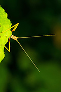 A Stick Insect on a leaf in Madagascar