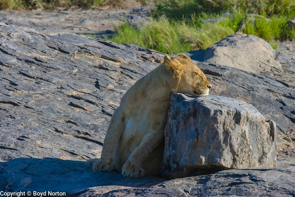 Lion cub uses rock to rest chin on