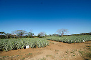 Cultivos de piña.©Victoria Murillo/istmophoto.com
