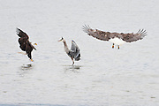 A bald Eagle (Haliaeetus leucocephalus) has a confrontation with a  Great Blue Heron (Ardea herodias)  near the shore of the Hood Canal of Puget Sound, Washington, USA