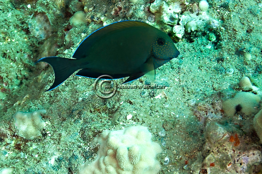 Brown Surgeonfish, Acanthurus nigrofuscus, Maui Hawaii