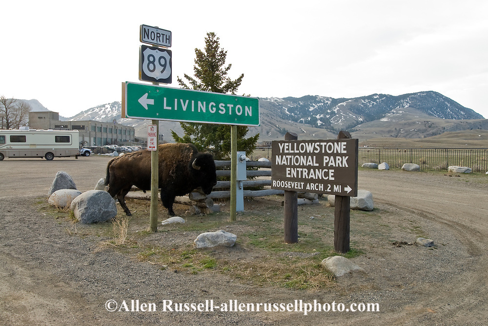 Bison, (bison bison), Gardiner, Montana, Northern entrance to Yellowstone National Park