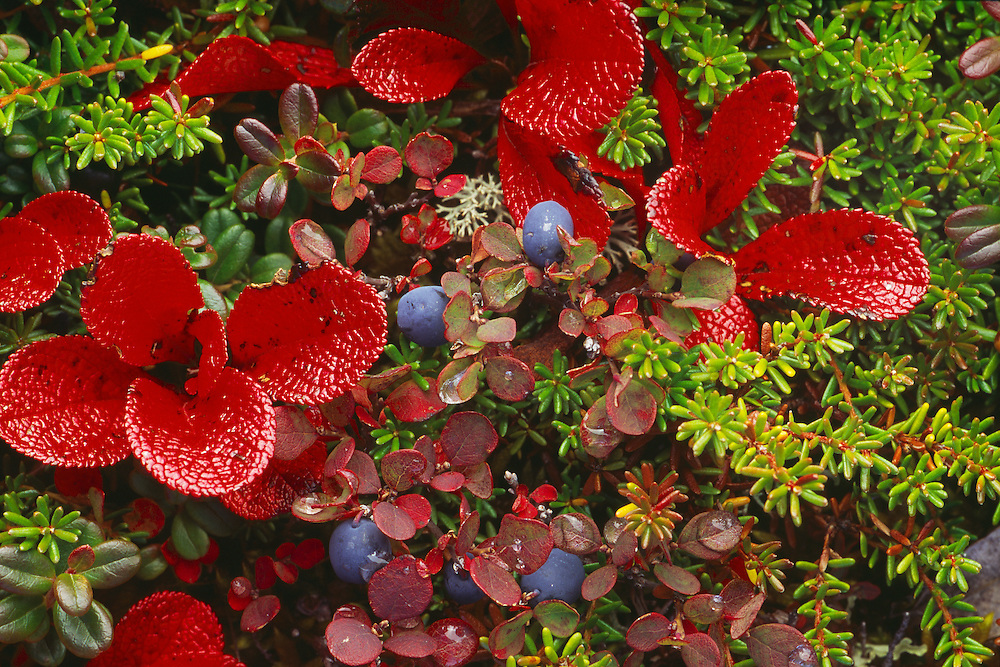 The red leaves of Red Bearberry along with some Bog Blueberry adorn the tundra in the fall in Denali National Park, Alaska. Fall. Morning.
