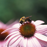 Bee Pollinating an Echinacea Flower
