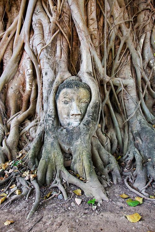 A Buddha head overgrown with tree roots, Wat Mahathat Ayutthaya, Thailand