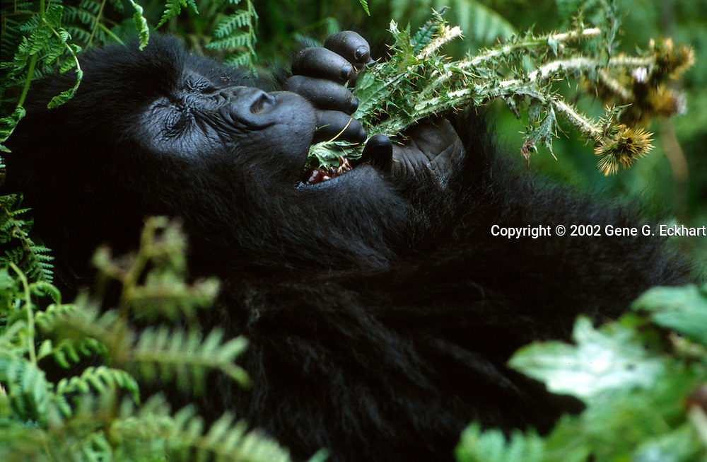 Mountain Gorilla (Gorilla beringei beringei) <br /> Virunga Volcanoes - Parc National des Volcans, Rwanda <br /> <br /> Gasindikira from Group 13 in Parc National des Volcans, Rwanda stuffs a wad of (Carduus Nyassanus) in his mouth. Commonly eaten species such as gallium, nettles or thistles have natural defense mechanisms such as barbs and stinging needles. These natural defenses must be overcome before they can be consumed. Given that these plants can comprise a high percentage of a gorillas&rsquo; diet, a repeatable method of processing them for consumption is necessary. How these skills are acquired is the real question. Research shows that the infants learn these complex manual processing skills primarily through observation and practice.