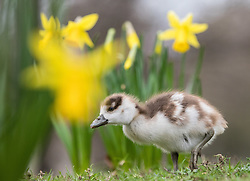 © Licensed to London News Pictures. 01/03/2017. London, UK. A young Egyptian gosling forages among blooming yellow daffodils in St James's Park on the first day of meteorological Spring. Photo credit: Rob Pinney/LNP