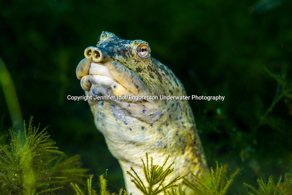 Texas Spiny Softshell Turtle<br /> <br /> Jennifer Idol/Engbretson Underwater Photography