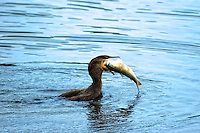 Cormorant on Sanibel Island with a big mullet. I couldn't believe my eyes as it swallowed the whole fish! It was funny watching it try to fly afterward!