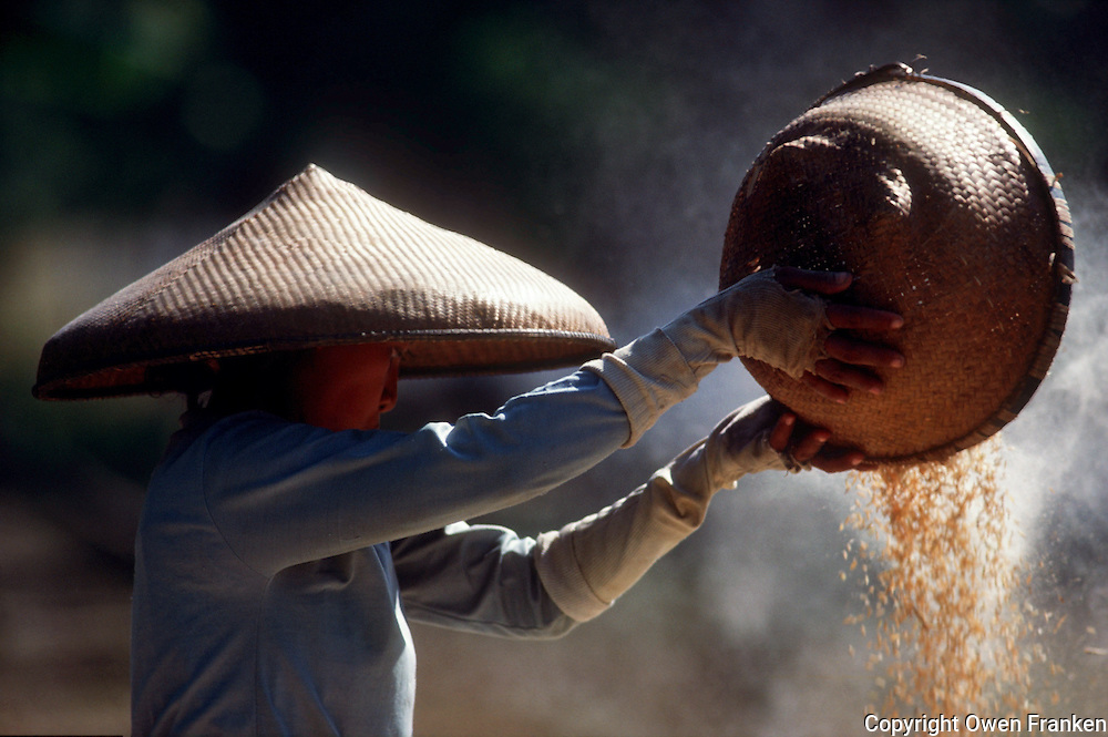 rice harvest in java, indonesia
