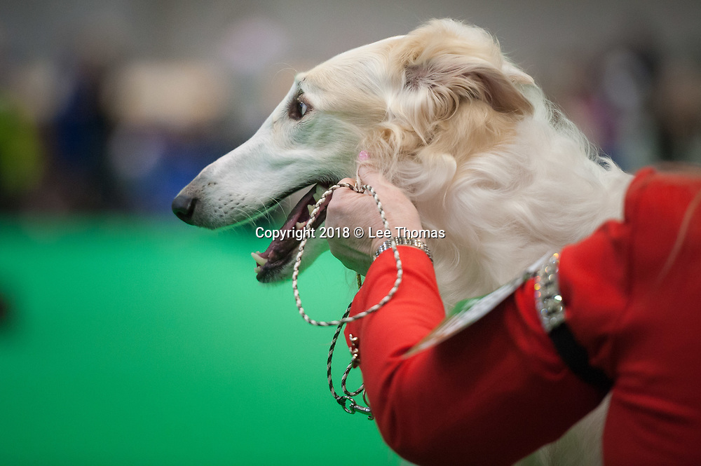 NEC, BIRMINGHAM, ENGLAND, UK. 9th MARCH 2018. Pictured:  A Borzoi Hound awaits the judges' decision. / First held in 1891, Crufts is said to be the largest show of its kind in the world, the annual four-day event, features thousands of dogs, with competitors travelling from countries across the globe to take part and vie for the coveted title of 'Best in Show'.  // Lee Thomas, Tel. 07784142973. Email: leepthomas@gmail.com  www.leept.co.uk (0000635435)