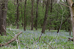 Virginia Bluebells (Mertensia virginica) show their springtime blossoms in the undergrowth of a virgin timber.