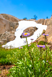 """Wildflowers in the Tahoe Back Country 9"" - Photograph of some wildflowers in the Tahoe area back country, above Warren Lake."