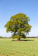 Single oak tree standing in arable field in early summer, Ramsholt, Suffolk, England, UK