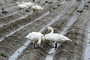 A pair of Trumpeter Swans pause in the fallow field.
